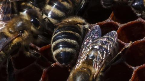 honeybees repair cell Footage