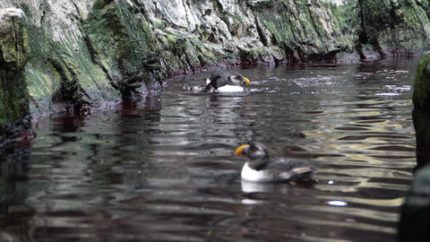 Atlantic Puffins. The Atlantic puffin has been hunted by man for several years Footage