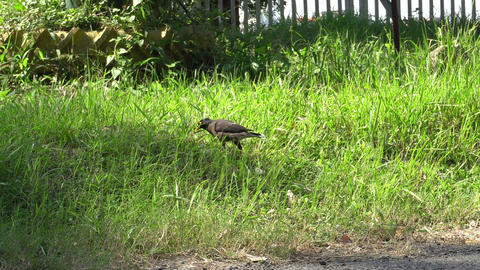Indian Mynah bird searching food 영상물
