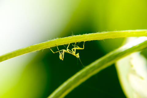 Larva of the mantis. Nymph mantis, Growing insect フォト