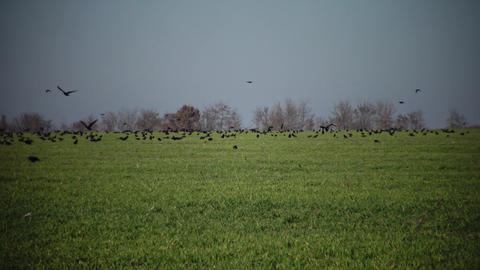 Rooks (Corvus frugilegus) on a green field of a winter wheat, Bolgradsky area, Ukraine Live Action