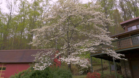 Push in of white dogwood blossoms and azalea flowers in front of a barn and log ライブ動画