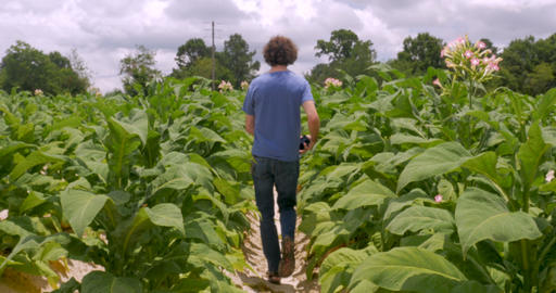 Man walking down an isle of flowering tobacco plants on a tobacco farm toward Live Action