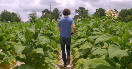Man walking down an isle of flowering tobacco plants on a tobacco farm toward Footage