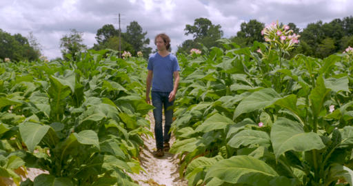 Man walking towards the camera in a tobacco field with flowering plants Footage
