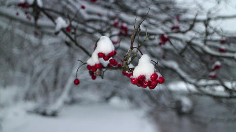 winter storm red berries mountain ash Live Action
