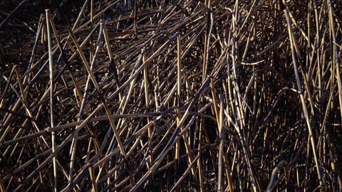 Dry cane burned during a fire on the lake, Bolgradsky district, Lake Yalpug, Footage