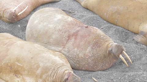 As sways bag of fat: Atlantic walrus is arranged to sleep on Barents sea beach; Live Action