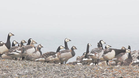 Barnacle goose worrying in front of camera in Arctic desert Footage