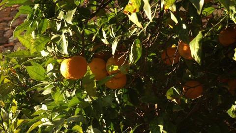 Beautiful Spanish orange trees Live Action