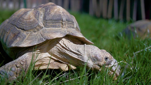 A tortoise moving through grass Live Action
