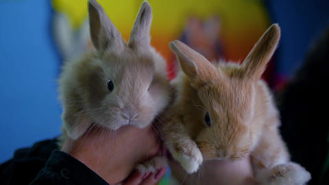 Two rabbits twitching noses and blinking at the camera Live Action
