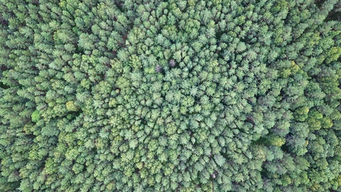 Decrease or rise above the tops of pines. Flying camera. HEAD OVER SHOT, From Live Action