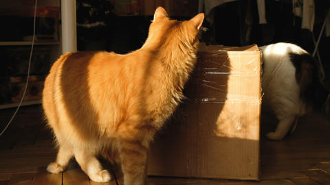 Two cats play with a cardboard box, 4k Footage