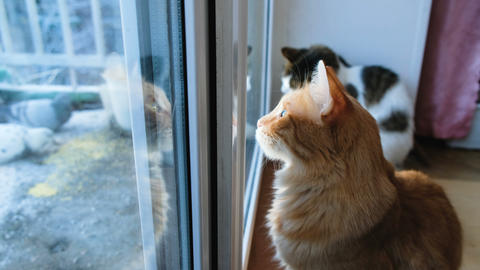 Two cats look through the closed window on pigeons, cats want to attack birds Footage