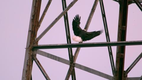 Bald eagle landing on tower Footage