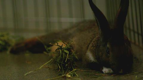 Slow motion brown bunny munching on grass ビデオ
