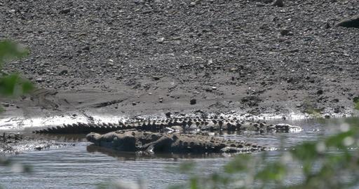 Huge American Crocodile, Costa Rica Footage