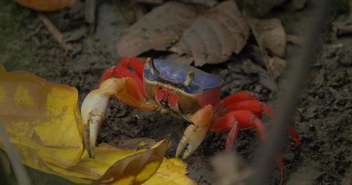 Huge Rainbow Crab In The Bush, Costa Rica Footage