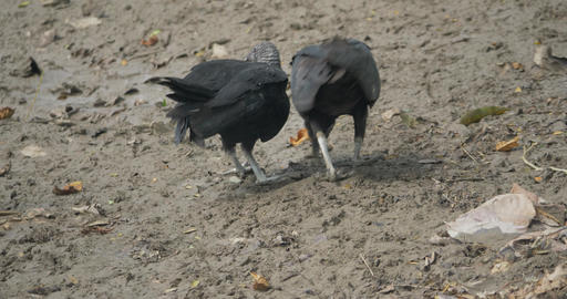 Grappling Pair Of Black Vultures, Costa Rica Live Action