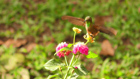 hummingbird hovering a bright red flower Footage