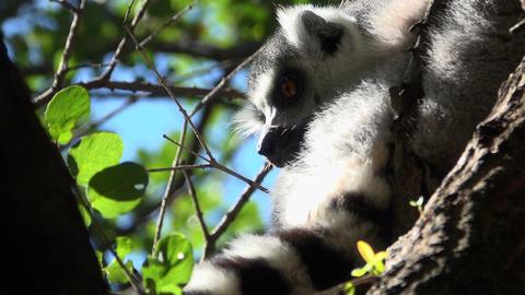Ring tailed Lemur glances around Footage