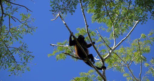 Howler Monkeys Sitting On A Tree, Howling, Costa Rica Live-Action