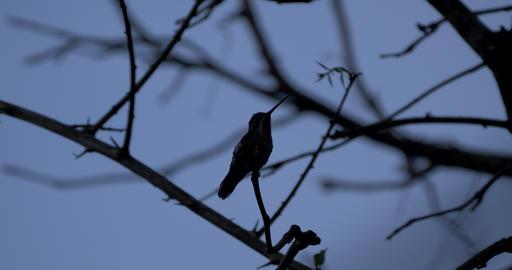 Hummingbird On A Tree, Costa Rica Live Action