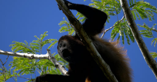 Howler Monkeys Sitting On A Tree, Howling, Costa Rica Footage