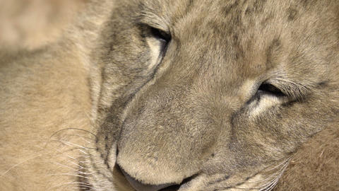 Tight shot of a lion cub face Live Action