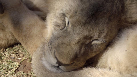Two lion cubs sleeping in shade Live Action