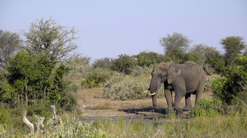 Bull elephant leaves the waterhole ビデオ