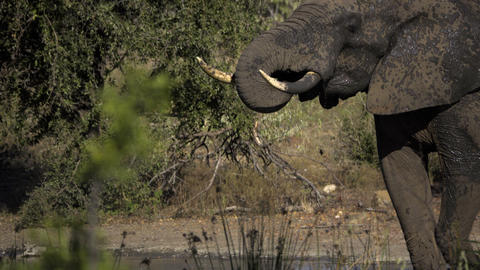 Elephant sprays water into its mouth Footage