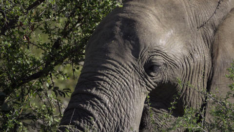 Young male elephant foraging for food Footage