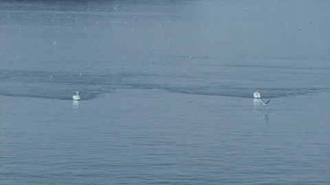 Swan swimming on the blue water of river Danube Image