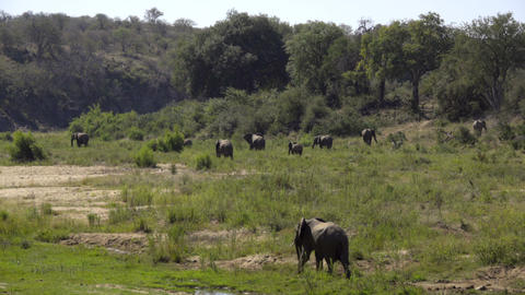 Herd of elephants grazing on a lush green river bank Footage