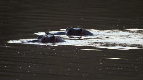 Hippos wading up stream in a river Live Action