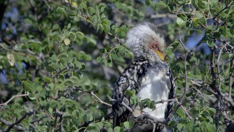 Southern Yellow-Billed Hornbill flies away Footage