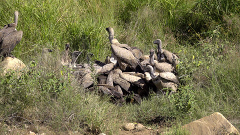 White Backed Vultures in a feeding frenzy Footage