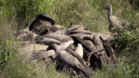 Gruesome frenzy of vultures tearing flesh off a dead impala Live Action