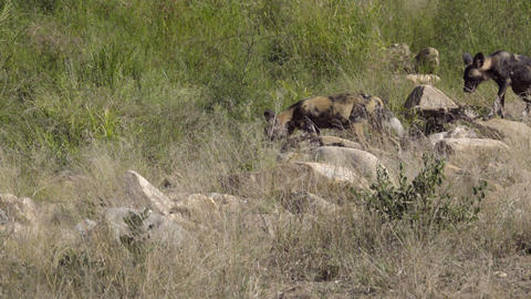 Two Wild Dogs prowling for prey Footage