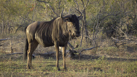 Wildebeest stands alone in the morning Live Action