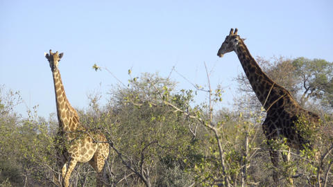 Male and female Giraffes stand on alert Footage