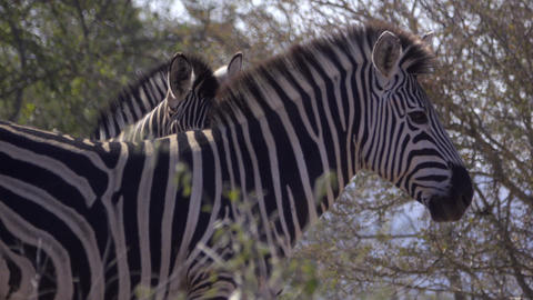 Profile of an adult Zebra Footage