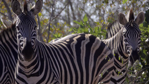 A dazzle of Zebras in Kruger Footage