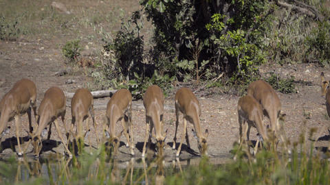 Large group of Impala drinking Footage