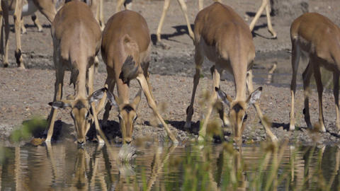 Small group of Impala drinking nervously Footage