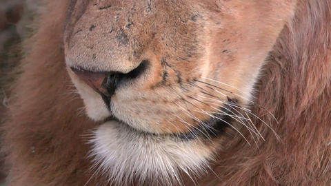 Close look at lions mouth nose and whiskers Live Action