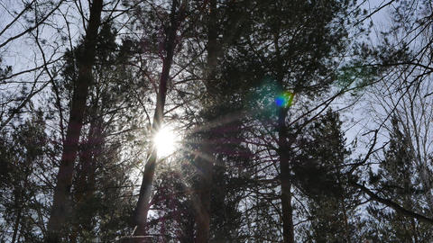 Sun in the tops of trees. Pines. Winter forest Footage