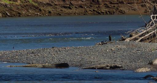 Huge American Crocodiles, Costa Rica Footage